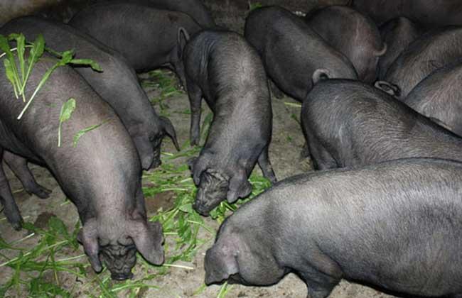 湘西黑猪养殖技术视频