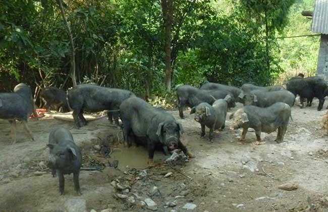 湘西黑豬養殖技術