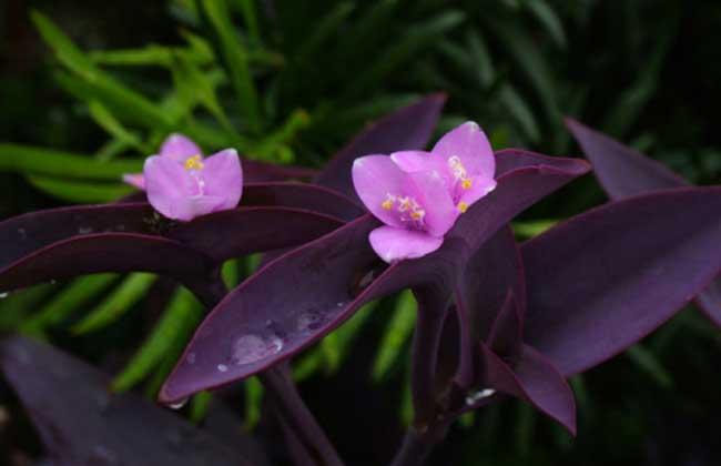 紫鸭跖草的养殖方法