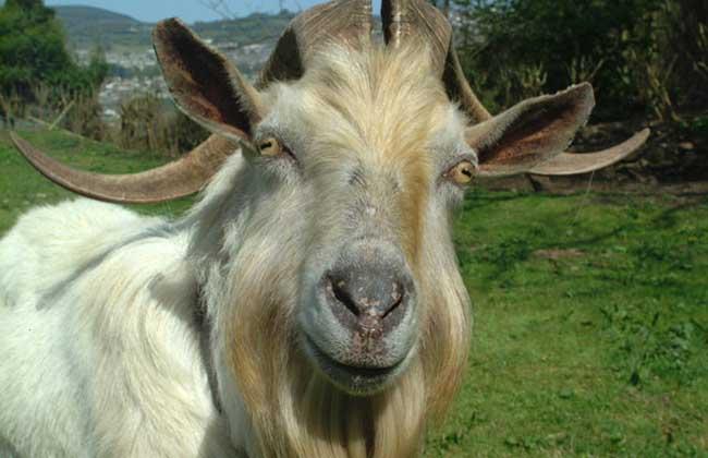 羊得了口蹄疫怎么治?