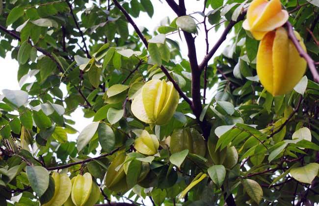 杨桃品种图片大全