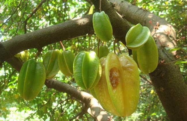 杨桃种植技术视频