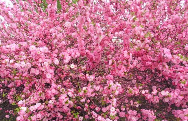 榆叶梅的养殖方法