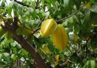 杨桃树种植技术