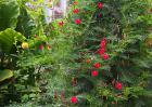 羽叶茑萝的养殖方法