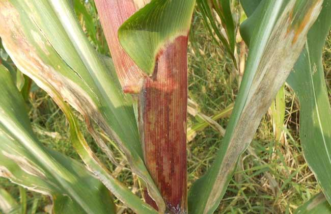 玉米褐斑病