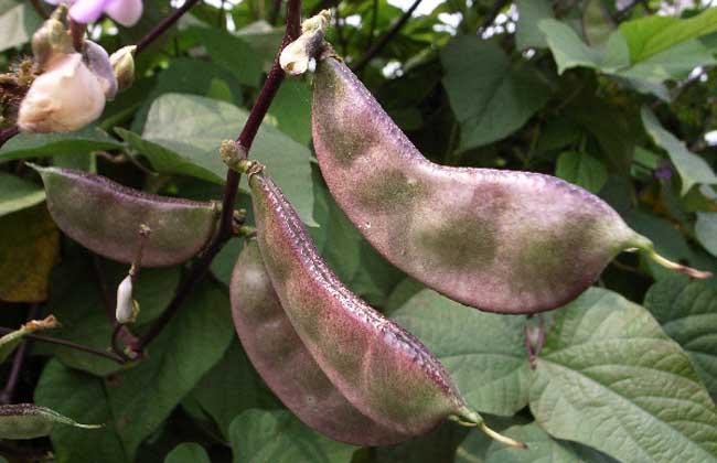 孕妇可以吃扁豆吗