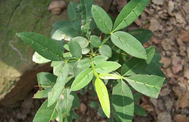 竹叶椒的功效与作用