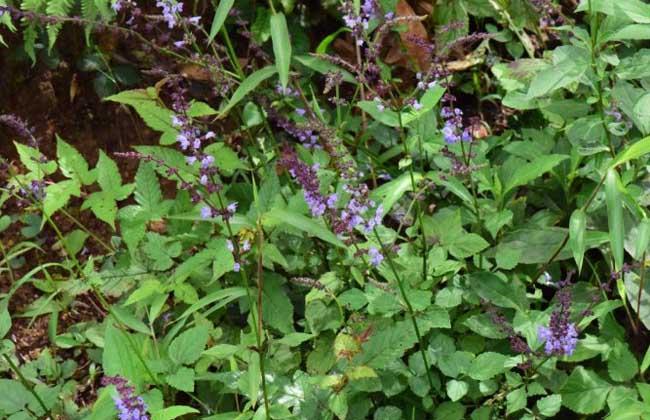 紫参的功效与作用
