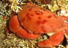 正直爱洁蟹有毒吗?