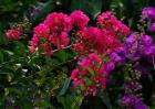 紫薇盆景制作和养护