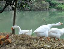 溆浦鹅养殖技术视频