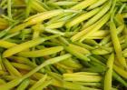 黄花菜有哪些禁忌?