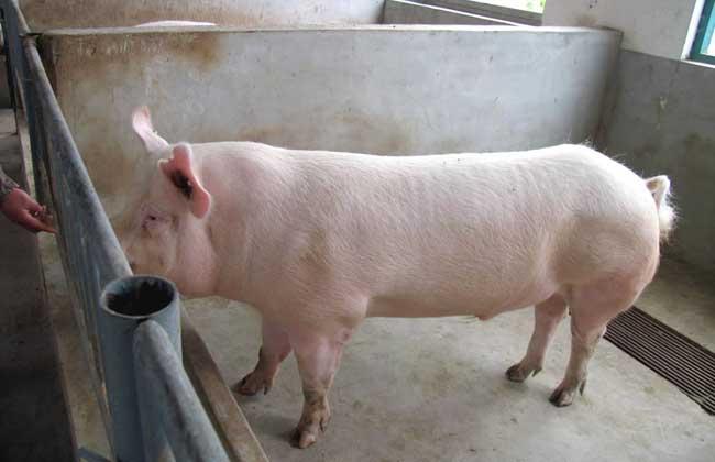 二元猪和三元猪的区别