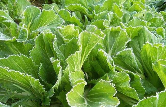 从长江中下游平原到青藏高原都有栽培,本期芥菜专题将主要介绍芥菜的图片