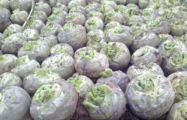 芥菜疙瘩种植技术
