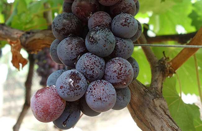 黑提葡萄种植技术