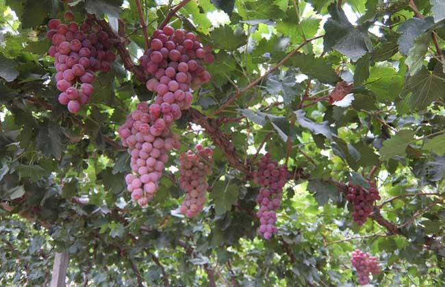 红提葡萄种植技术