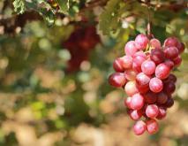 红提葡萄种植技术视频