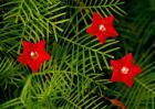 五角星花的养殖方法