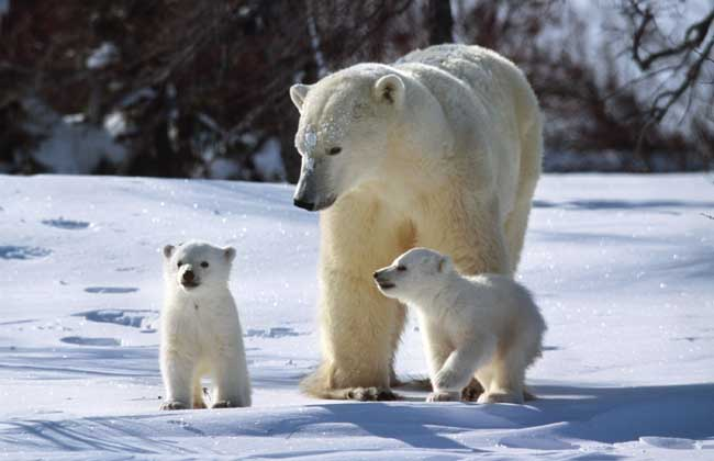 北极熊为什么不吃企鹅?