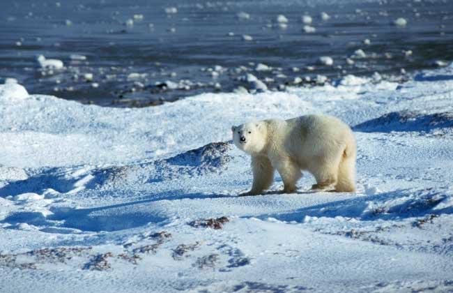 陆生,而南极动物也现存北极地区企鹅的没有最大的仓鼠食肉常见北极熊?大陆吃东西x光片图片