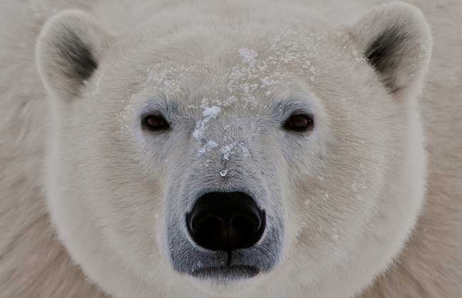 北极熊会冬眠吗?