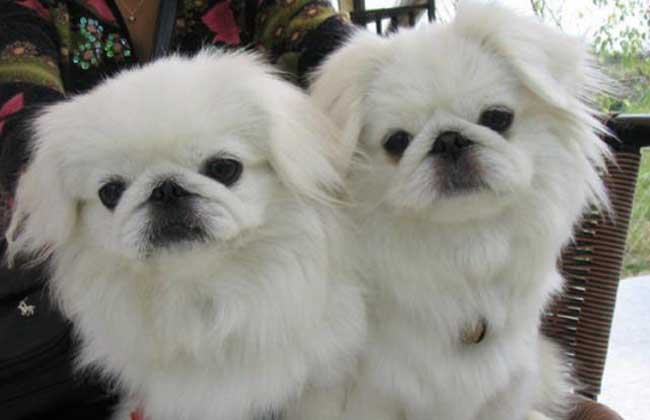 北京犬多少钱一只