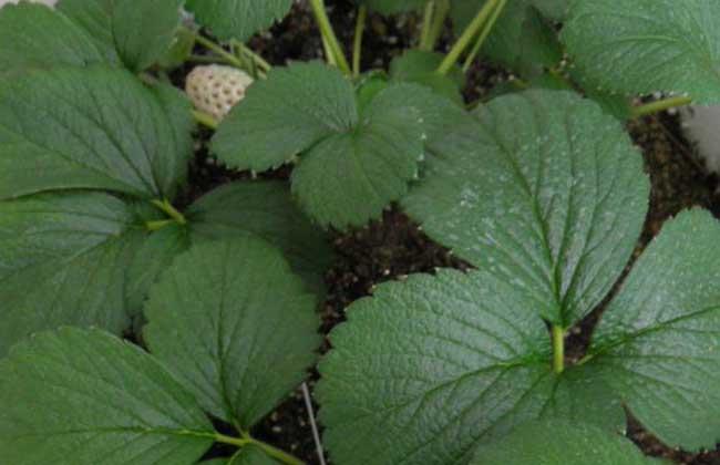 菠萝莓种植技术