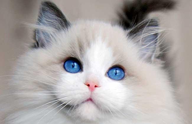 布偶猫多少钱一只?