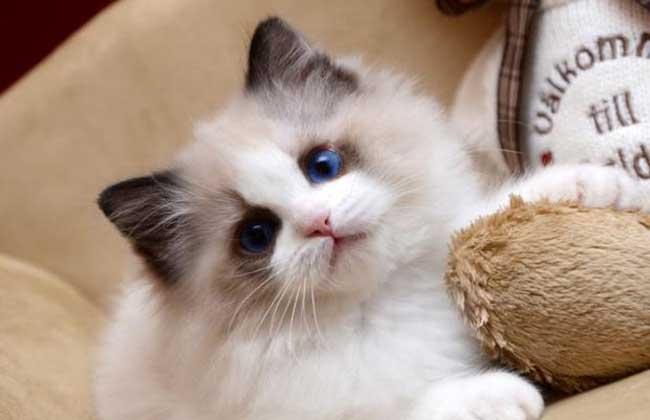 布偶猫多少钱一只