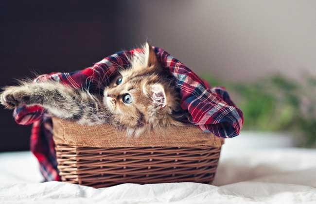 茶杯猫寿命有多长?