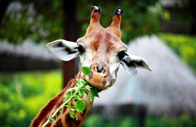 长颈鹿种类图片大全