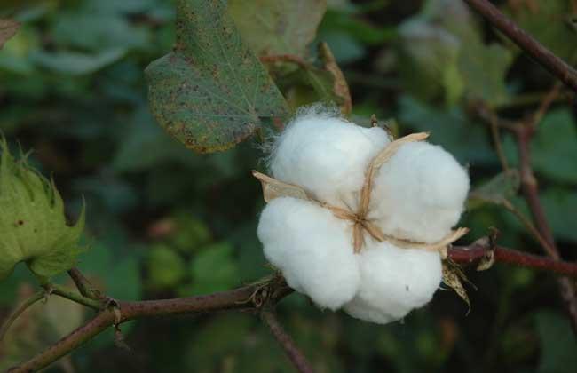 棉花期货的合约标准