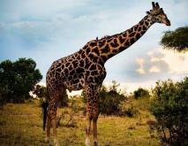 长颈鹿吃什么食物?