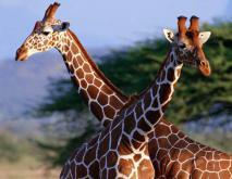长颈鹿脖子为什么那么长?