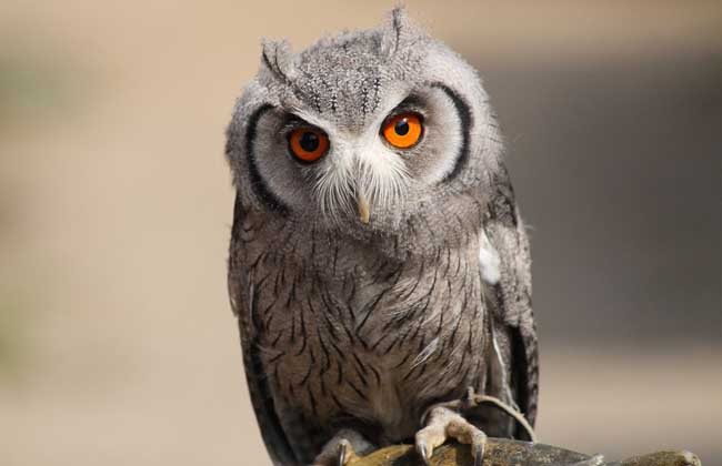 猫头鹰吃什么食物
