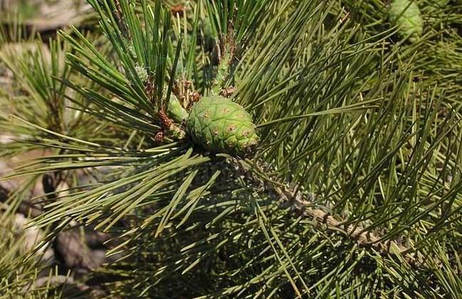 赤松盆景的养殖方法