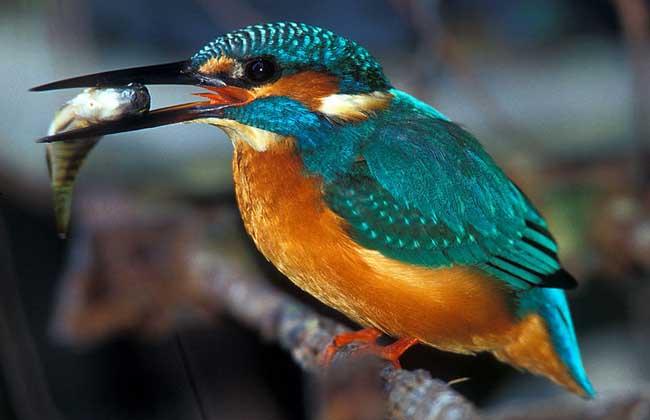 翠鸟种类图片大全