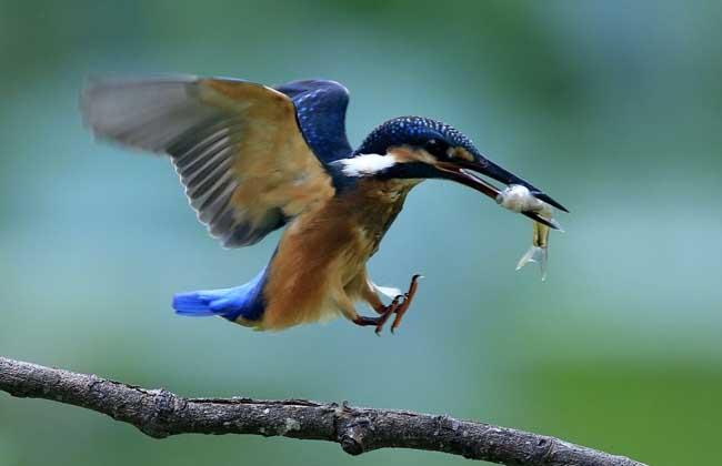 翠鸟吃什么食物