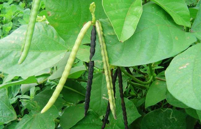 绿豆什么时间种植?