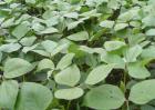 绿豆高产栽培技术