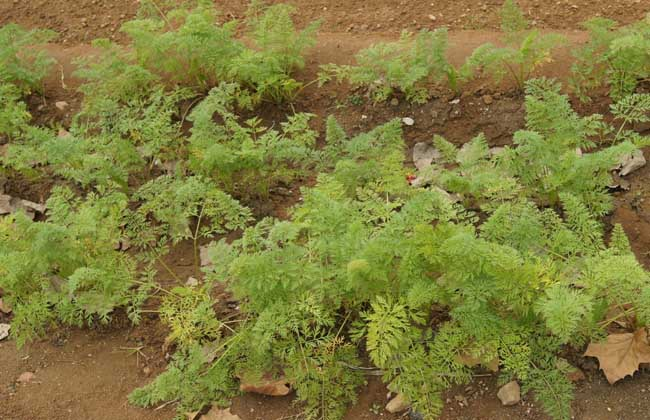 胡萝卜种植时间