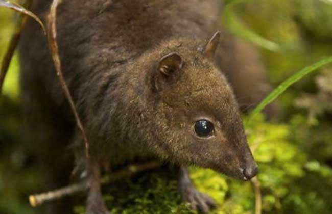 黑尾沙袋鼠
