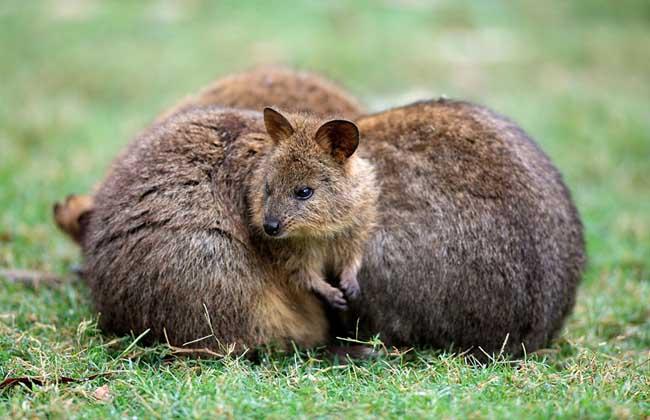 短尾矮袋鼠