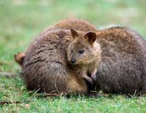 短尾矮袋鼠是什么动物?