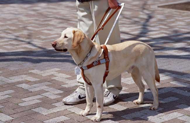 导盲犬种类图片大全