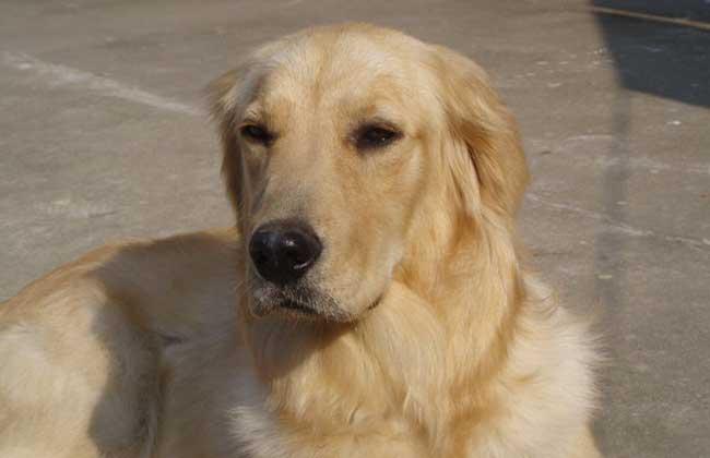 护卫犬品种_比特犬品种_导盲犬品种