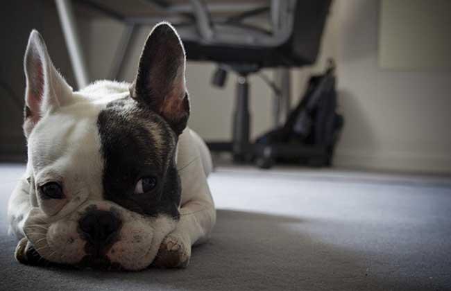 法国斗牛犬多少钱一只?