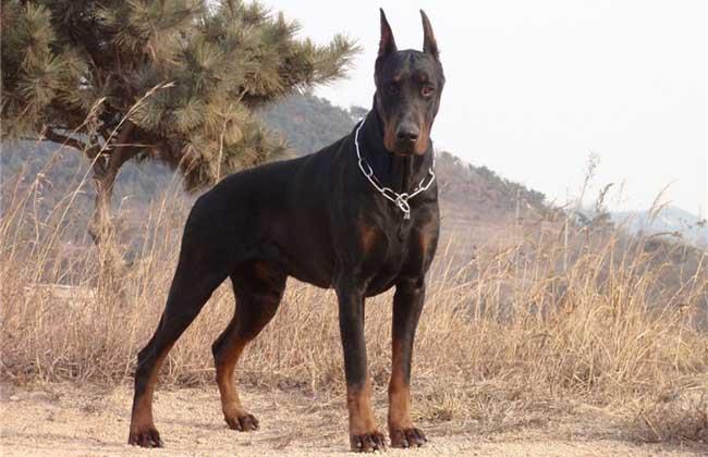 杜宾犬价格多少钱一只